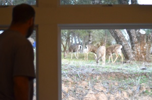 A mob of mule deer does stopped by for breakfast.