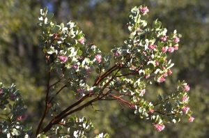 A month ago, the flower buds were just tiny green seed pearls.  This is the best time to photograph the manzanita blooms.