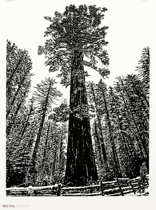 Sequoiadendron giganteum - Yosemite, 24